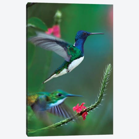 White-Necked Jacobin And Golden-Tailed Sapphire, Trinidad Canvas Print #TFI1484} by Tim Fitzharris Canvas Art