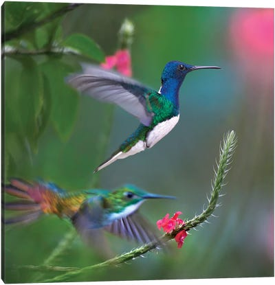 White-Necked Jacobin And Golden-Tailed Sapphire, Trinidad Canvas Art Print