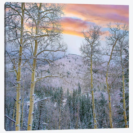 Winter Quaking Aspen, Aspen Vista, Santa Fe National Forest, New Mexico Canvas Print #TFI1490} by Tim Fitzharris Canvas Artwork
