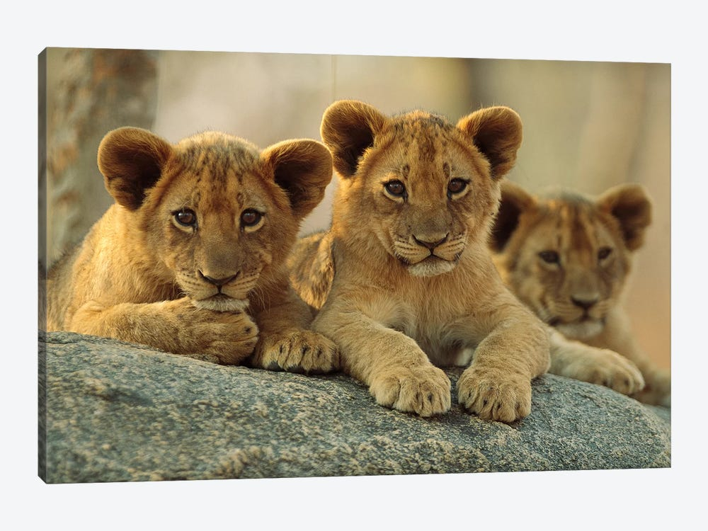 African Lion Three Cubs Resting On A Rock, Hwange National Park, Zimbabwe by Tim Fitzharris 1-piece Canvas Print