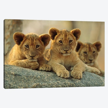 African Lion Three Cubs Resting On A Rock, Hwange National Park, Zimbabwe Canvas Print #TFI14} by Tim Fitzharris Canvas Wall Art
