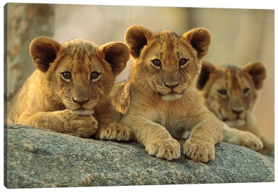 African Lion Three Cubs Resting On A Rock, Hwange National Park, Zimbabwe Canvas Art Print