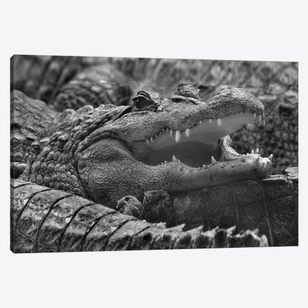 American Alligator, Everglades, Florida Canvas Print #TFI1501} by Tim Fitzharris Canvas Artwork