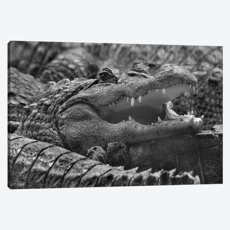 American Alligator, Everglades, Florida Canvas Print #TFI1501} by Tim Fitzharris Canvas Artwork
