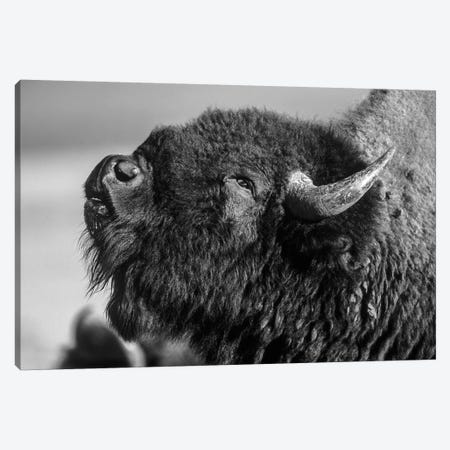 American Bison bull displaying, North America Canvas Print #TFI1502} by Tim Fitzharris Canvas Artwork