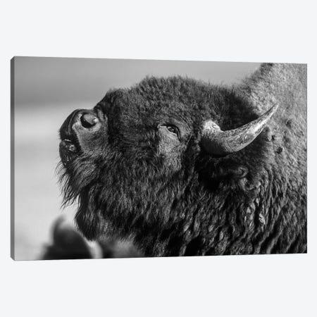 American Bison bull displaying, North America Canvas Print #TFI1502} by Tim Fitzharris Canvas Artwork