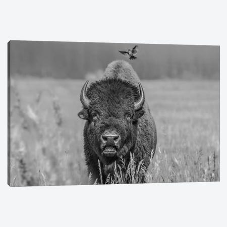 American Bison bull with landing female Brown-headed Cowbird, Grand Teton National Park, Wyoming Canvas Print #TFI1504} by Tim Fitzharris Canvas Art Print