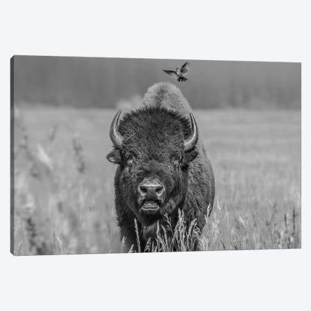 American Bison bull with landing female Brown-headed Cowbird, Grand Teton National Park, Wyoming Canvas Print #TFI1504} by Tim Fitzharris Canvas Art Print