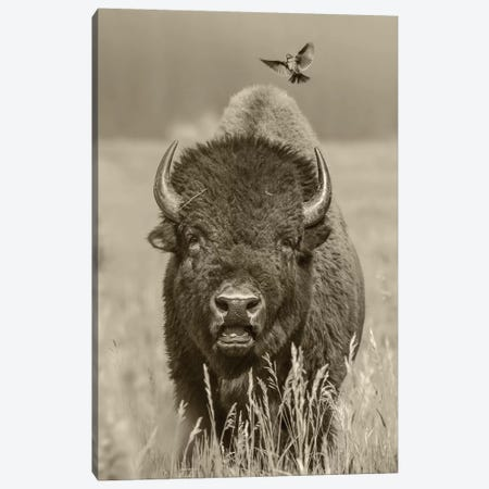 American Bison bull with landing female Brown-headed Cowbird, Grand Teton National Park, Wyoming Canvas Print #TFI1505} by Tim Fitzharris Canvas Print