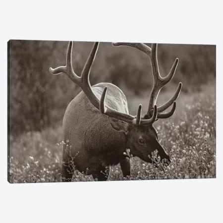 American Elk bull grazing, Banff National Park, Alberta, Canada Canvas Print #TFI1506} by Tim Fitzharris Canvas Print
