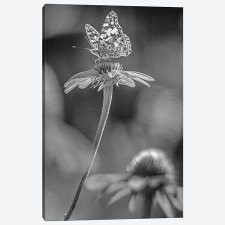 American Painted Lady butterfly on Coneflower, New Mexico Canvas Print #TFI1507} by Tim Fitzharris Canvas Print