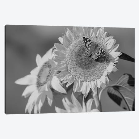 American Painted Lady butterfly on sunflower, New Mexico Canvas Print #TFI1508} by Tim Fitzharris Canvas Art