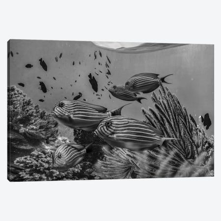Angelfish group and soft coral, Bohol Island, Philippines Canvas Print #TFI1509} by Tim Fitzharris Canvas Art