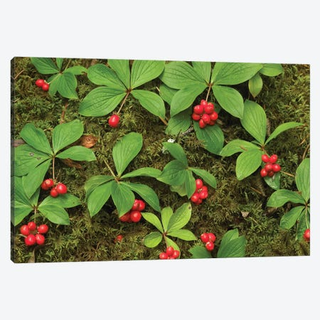 Bunchberry Growing Amid Sphagnum Moss, North America Canvas Print #TFI150} by Tim Fitzharris Canvas Wall Art