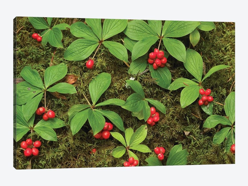 Bunchberry Growing Amid Sphagnum Moss, North America by Tim Fitzharris 1-piece Canvas Artwork