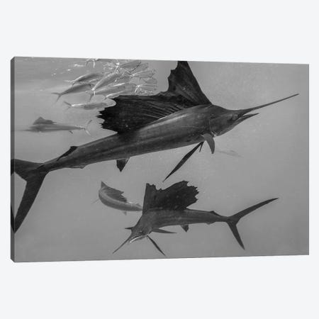 Atlantic Sailfish group hunting Round Sardinella school, Isla Mujeres, Mexico Canvas Print #TFI1514} by Tim Fitzharris Canvas Art