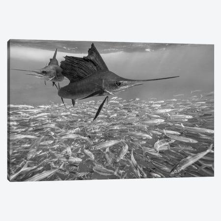 Atlantic Sailfish group hunting Round Sardinella school, Isla Mujeres, Mexico Canvas Print #TFI1515} by Tim Fitzharris Canvas Artwork