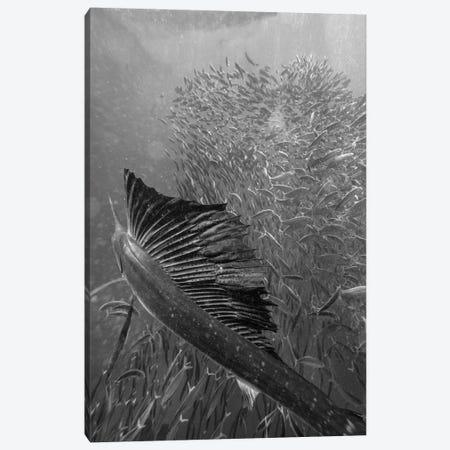 Atlantic Sailfish hunting Round Sardinella school, Isla Mujeres, Mexico Canvas Print #TFI1516} by Tim Fitzharris Canvas Wall Art