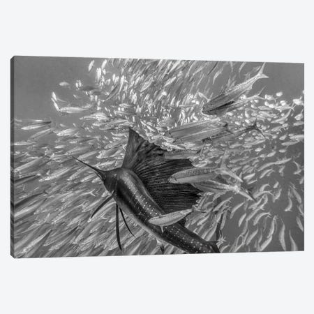 Atlantic Sailfish hunting Round Sardinella school, Isla Mujeres, Mexico Canvas Print #TFI1517} by Tim Fitzharris Canvas Artwork