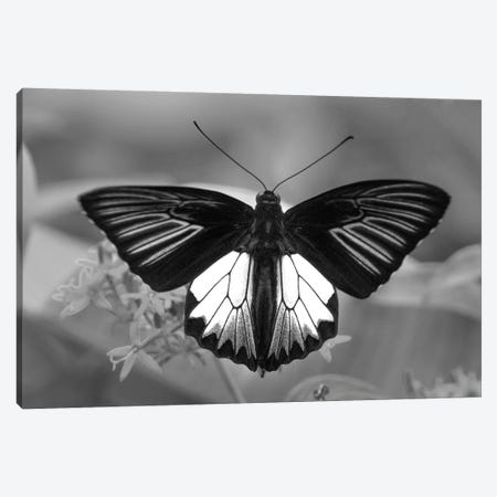 Birdwing Butterfly showing aposematic coloration, Philippines Canvas Print #TFI1530} by Tim Fitzharris Canvas Art Print