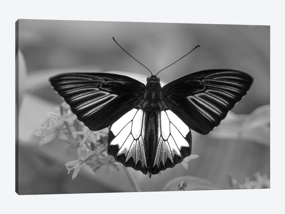 Birdwing Butterfly showing aposematic coloration, Philippines by Tim Fitzharris 1-piece Canvas Wall Art