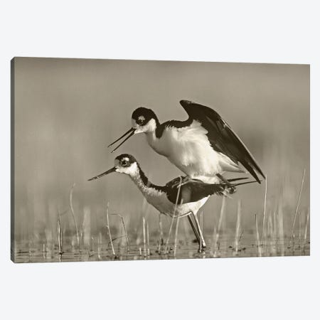 Black-necked Stilts Mating Canvas Print #TFI1533} by Tim Fitzharris Canvas Art Print