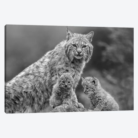 Bobcat mother and kittens, North America Canvas Print #TFI1537} by Tim Fitzharris Canvas Artwork