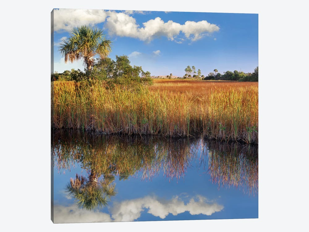 Cabbage Palm In Wetland, Fakahatchee State Preserve, Florida by Tim Fitzharris 1-piece Canvas Wall Art