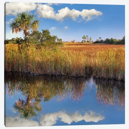 Cabbage Palm In Wetland, Fakahatchee State Preserve, Florida Canvas Print #TFI154} by Tim Fitzharris Canvas Print