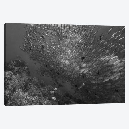 Cavalla school and Butterflyfish, Balicasag Island, Philippines Canvas Print #TFI1569} by Tim Fitzharris Canvas Wall Art