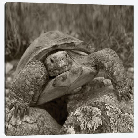 Desert Tortoise, Santa Catalina Mountains, Arizona Canvas Print #TFI1590} by Tim Fitzharris Canvas Art Print