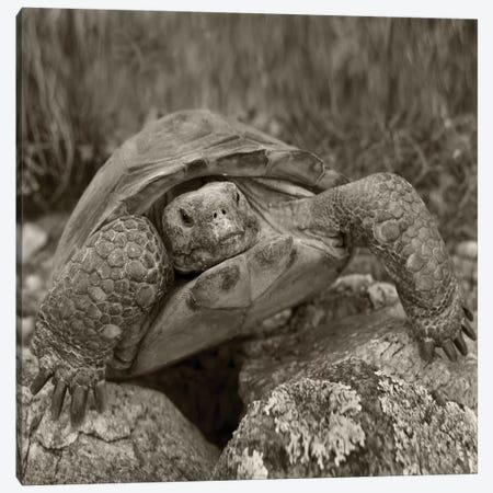 Desert Tortoise, Santa Catalina Mountains, Arizona Canvas Print #TFI1590} by Tim Fitzharris Canvas Art Print