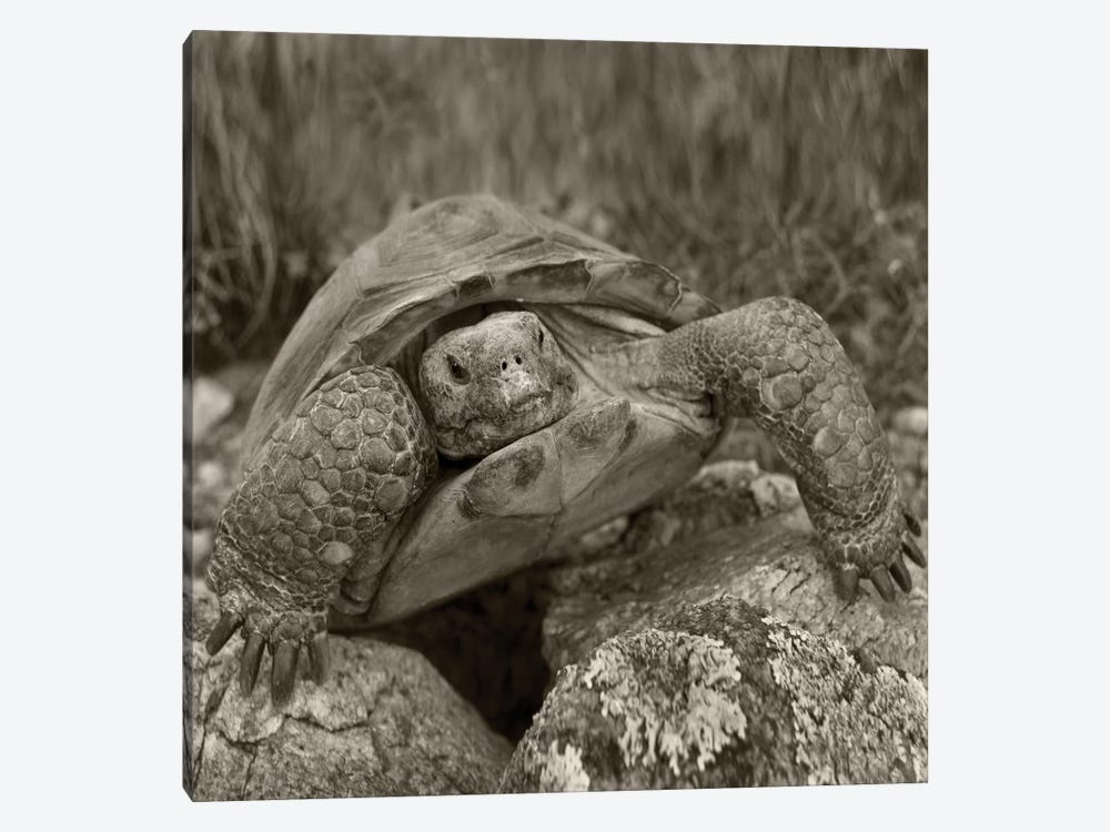 Desert Tortoise, Santa Catalina Mountains, Arizona by Tim Fitzharris 1-piece Canvas Artwork