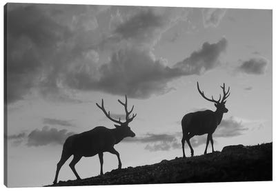 Elk bulls, Rocky Mountain National Park, Colorado Canvas Art Print