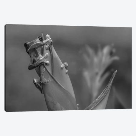 Gliding Leaf Frog on Heliconia, Costa Rica Canvas Print #TFI1604} by Tim Fitzharris Canvas Art
