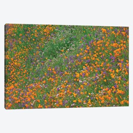 California Poppy And Desert Bluebell Carpeting A Spring Hillside, California Canvas Print #TFI160} by Tim Fitzharris Art Print
