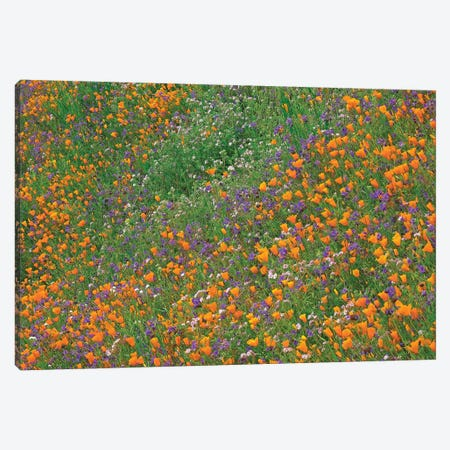 California Poppy And Desert Bluebell Carpeting A Spring Hillside, California Canvas Print #TFI160} by Tim Fitzharris Art Print