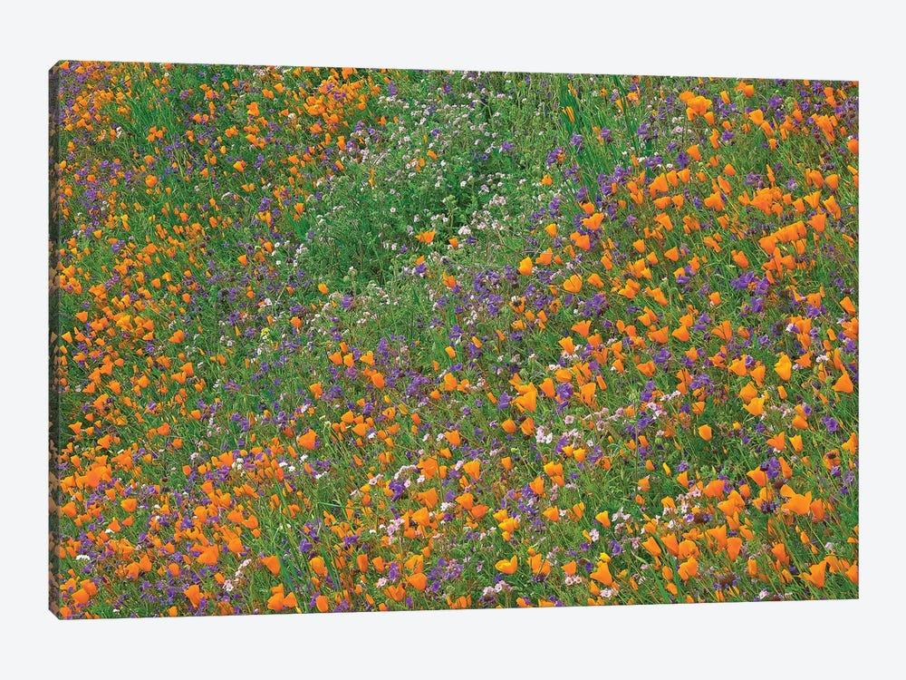 California Poppy And Desert Bluebell Carpeting A Spring Hillside, California by Tim Fitzharris 1-piece Canvas Print