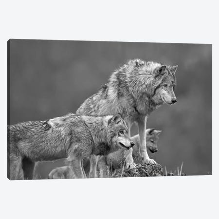 Gray Wolf group, North America Canvas Print #TFI1613} by Tim Fitzharris Canvas Artwork
