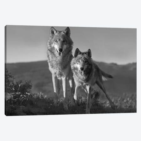 Gray Wolf pair standing, North America Canvas Print #TFI1614} by Tim Fitzharris Art Print