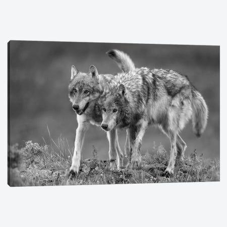 Gray Wolf pair walking together, North America Canvas Print #TFI1615} by Tim Fitzharris Art Print