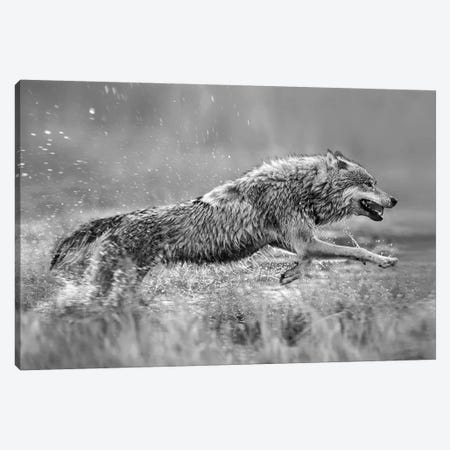 Gray Wolf running through water, native to North America Canvas Print #TFI1616} by Tim Fitzharris Canvas Art Print