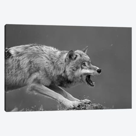 Gray Wolf snarling, North America Canvas Print #TFI1617} by Tim Fitzharris Canvas Print
