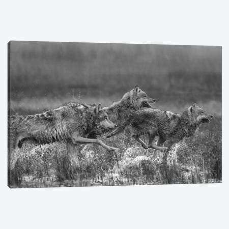 Gray Wolf trio running through water, North America Canvas Print #TFI1619} by Tim Fitzharris Canvas Art