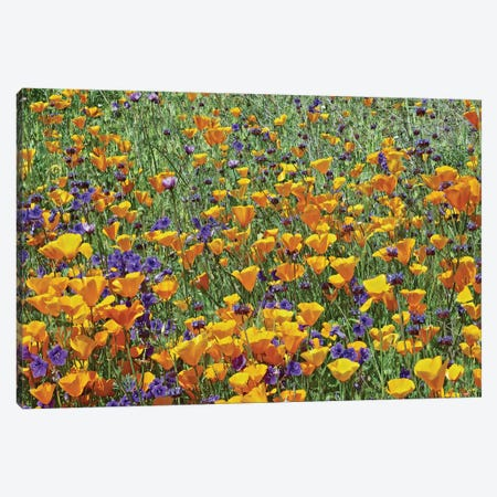 California Poppy And Desert Bluebell Flowers, Antelope Valley, California I Canvas Print #TFI161} by Tim Fitzharris Canvas Print