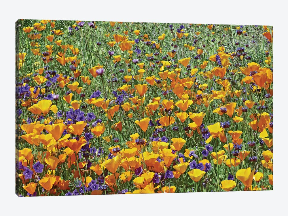 California Poppy And Desert Bluebell Flowers, Antelope Valley, California I by Tim Fitzharris 1-piece Canvas Wall Art