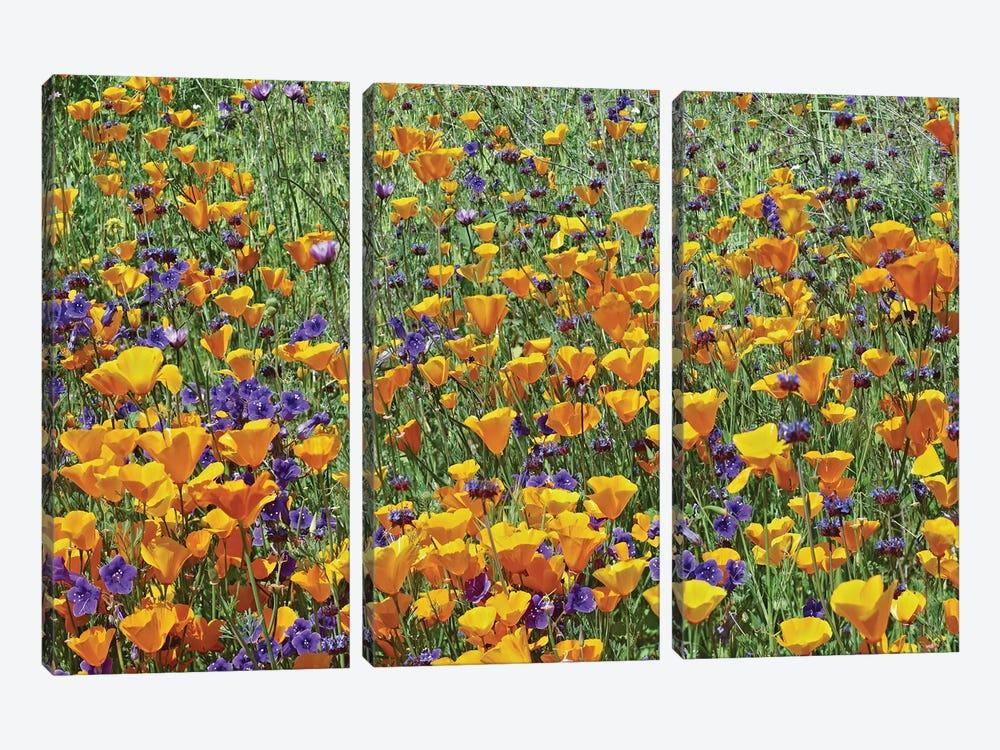 California Poppy And Desert Bluebell Flowers, Antelope Valley, California I by Tim Fitzharris 3-piece Canvas Artwork