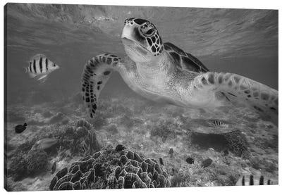 Green Sea Turtle and Sergeant Major Damselfish group, Negros Oriental, Philippines Canvas Art Print