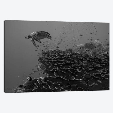 Green Sea Turtle over coral reef, Balicasag Island, Philippines Canvas Print #TFI1627} by Tim Fitzharris Canvas Artwork