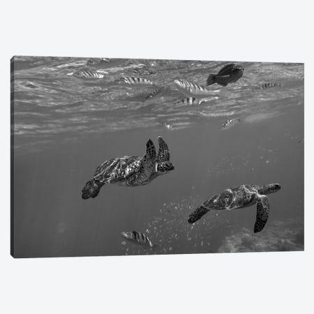 Green Sea Turtle pair, Apo Island, Philippines Canvas Print #TFI1628} by Tim Fitzharris Canvas Print